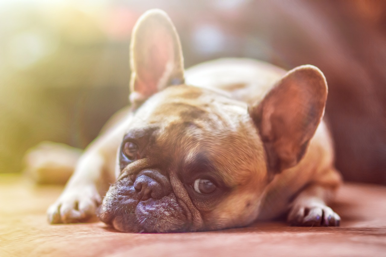 Le malattie stagionali da raffreddamento nei cani
